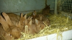 Kaninkød